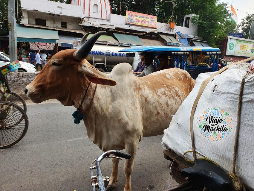 Viaje en Mochila - Vaca animal sagrado en India